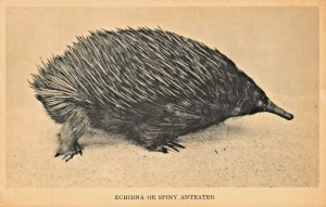 ECHIDNA OR SPINY ANTEATER ~ FIELD MUSEUM PHOTO POSTCARD