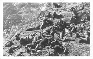 Seals Sea Lions at Play Sea Lion Caves 1939