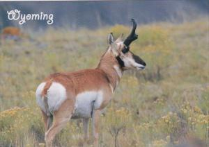 Wyoming Pronghorn Antelope