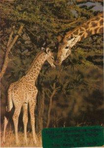 GIRAFFES , 1950-70s : KENYA