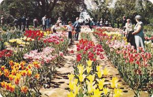 Tulips during the Dutch Bulb Festival in the experimental farm's tulip garden...