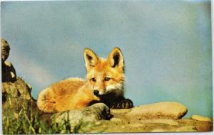 Red Fox pup in Alaska
