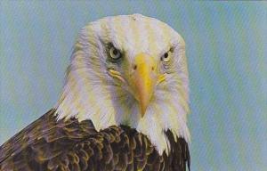 North American Bald Eagle British Columbia Canada