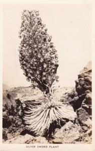 RP: Silver Sword Plant , USA , 30-40s