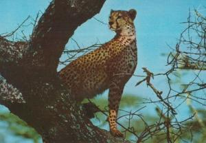 African Cheetah In Trees Kenya Nairobe South Africa Postcard