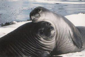 ANTARCTICA , 1960-80s ; Seals