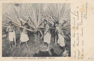 YUCATAN , Mexico , 1906 ; Indie cortando henequen