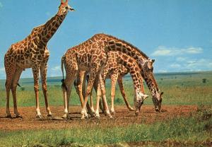 Africa - Giraffe