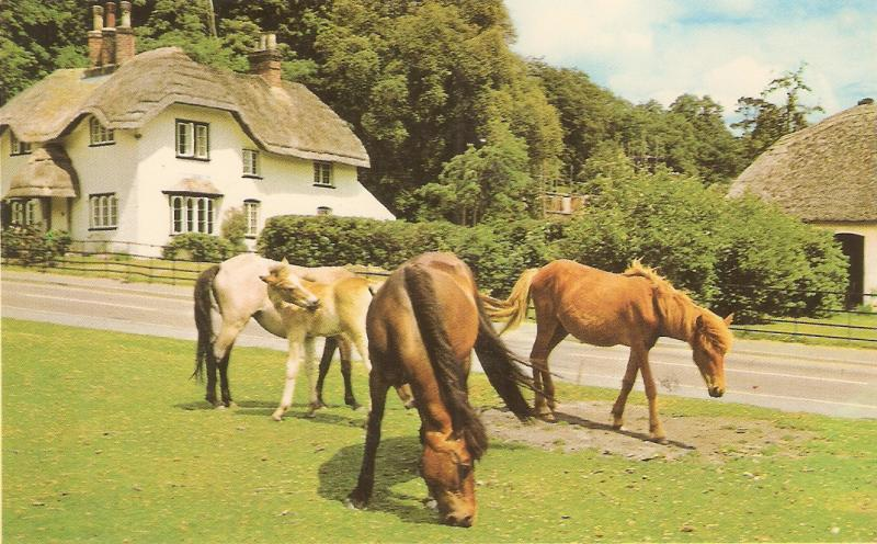 New Forest Ponies Nice Eglish postcard 1950/60s