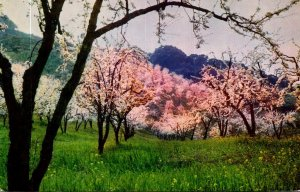 California Santa Clara Valley Blossom Time Prune Trees