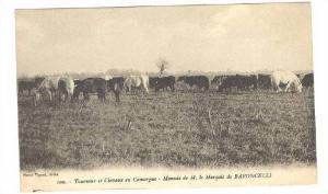 Cattle herd, Taureaux et Chevaux en Camargue - Manade de M. le Marquis de BAR...