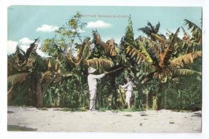 Cuba Cutting Bananas ca 1910