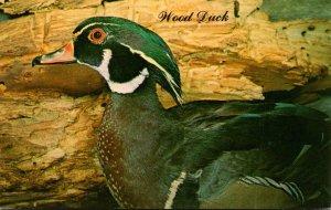 Birds Male Wood Duck