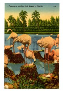 FL - Flamingos Feeding Their Young