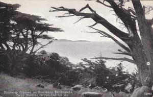 Monterey Cypress on Monterey Peninsula near Pacfic Grove, California, 00-10s