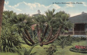 FLORIDA, 1900-1910's; A Twelve Stemmed Palm