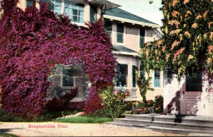 California Beautiful Bougainvillea Vine In Front Of Home