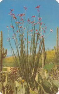 Arizona Cactus Ocotilla 1953