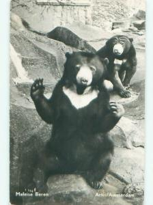 rppc 1955 BEARS AT THE ZOO IN AMSTERDAM NETHERLANDS AC8229
