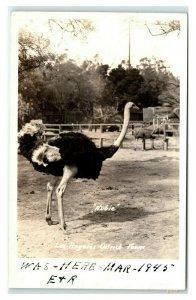 California Ostrich Farm Antique Undivided Back Postcard Unused 1901-1907