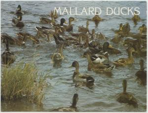 MALLARD DUCKS, unused Postcard