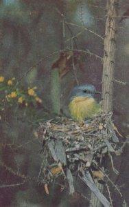 Yellow Robin Bird , Australia , 1940s