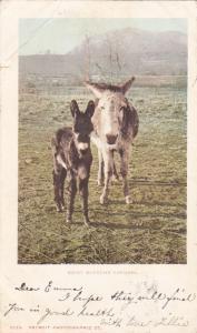 Two Donkeys, Rocky Mountain Canaries  PU-1904