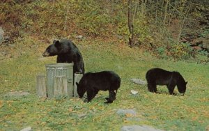 STE-AGATHES DES MONTS , Quebec , Canada , 1950-60s ; Black Bears in trash