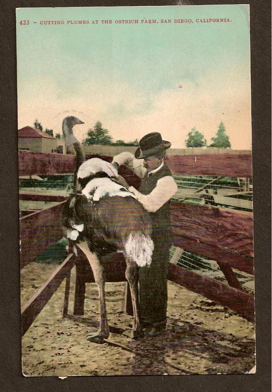 POSTCARD- CUTTING OSTRICH PLUMES-SAN DIEGO-FLAG CANCEL-1909