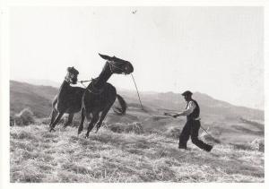 Swiss Man Taming Wild Horses Lassoo Like Cowboy Gotthard Schuh Photo Postcard