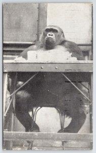 Cincinnati OH~Susie Sits @ School Desk in Front Of Blackboard~Gorilla @ Zoo 1941
