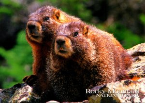 Yellow Bellied Marmot Rocky Mountain National Park Colorado