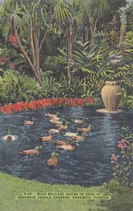 Florida Sarasota Wild Mallard Ducks In Pool At Sarasota Jungle Gardens