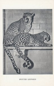 NEW YORK CITY , New York , 1930s ; Spotted Leopards at Central Park Zoo