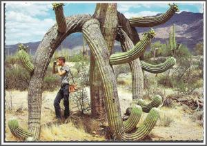 Arizona, Saguaro Cactus Postcard