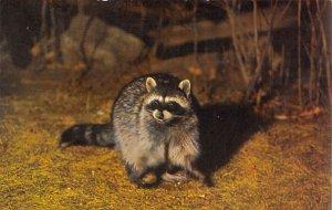 Raccoons Yosemite National Park, California, USA Unused
