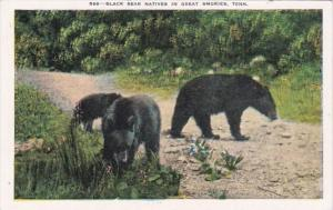 Smoky Mountains National Park Black Bear Natives