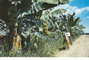 Panama Banana Plantation Of The Chiriqui Land Company
