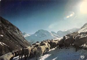 France Savoie Tarentaise, Troupeau Surpris par la Neige Route du Col de l'Iseran