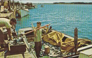Canada Unloading Mackeral Rustico Harbour Prince Edward Island