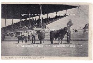 Prize Cattle, NY State Fair, Syracuse NY
