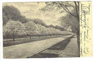 Magnolia Trees in bloom, Oxford St. Rochester, New York,PU-1907