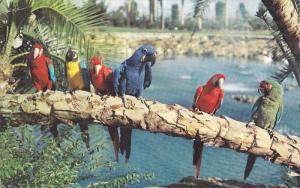 Parrots, Lagoon, Busch Gardens, TAMPA, Florida, 40-60's