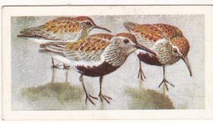 Trade Card Brooke Bond Tea Wild Birds in Britain 24 Dunlin