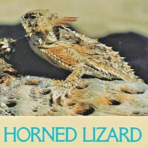 Adult Horned Lizard Central South Arizona New Mexico North America USA Animal