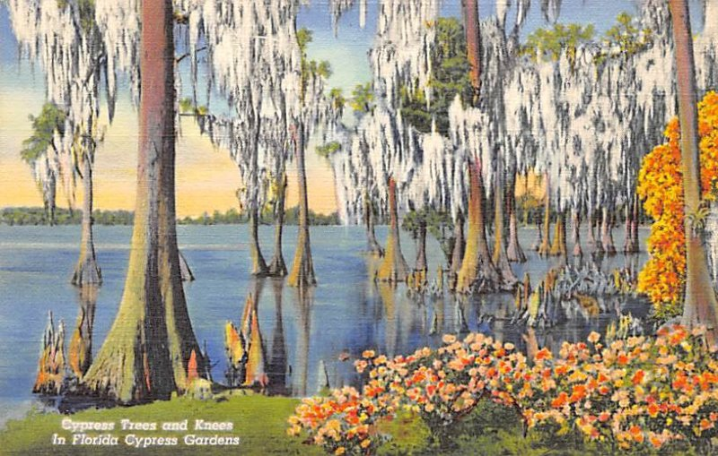 Cypress Trees and Knees in Florida Cypress Gardens FL