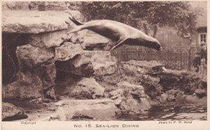 Sea Lion Diving London Zoo Antique Postcard
