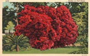 Vintage Postcard 1930's Azalea In Full Bloom Blossoms Red Flowers Floral Artwork