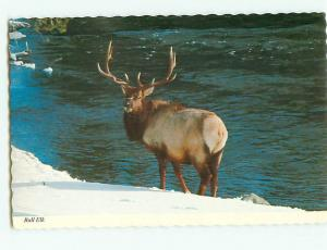 Vintage Postcard Bull Elk North America Yellowstone National Park   # 2676