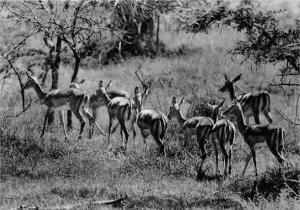 Rwanda Ruanda Kagera National Park, Impala Antelopes, Uruwita plain, fauna